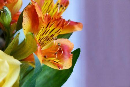 Flores de Fresia